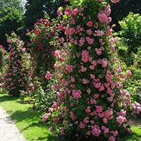 озеленение розами