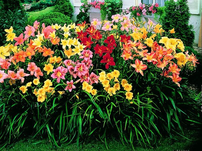 forum-lilii